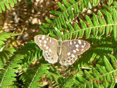 [speckled wood]