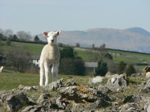 [lamb on Scout Scar]